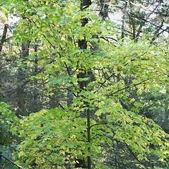 Plant form: Acer pensylvanicum. ~ By Arieh Tal. ~ Copyright © 2020 Arieh Tal. ~ http://botphoto.com/ ~ Arieh Tal - botphoto.com