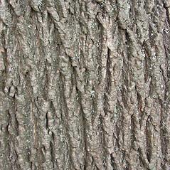 Bark: Acer platanoides. ~ By Glen Mittelhauser. ~ Copyright © 2020 Glen Mittelhauser. ~ www.mainenaturalhistory.org
