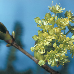 Flowers: Acer platanoides. ~ By Adelaide Pratt. ~ Copyright © 2020 New England Wild Flower Society. ~ Image Request, images[at]newenglandwild.org