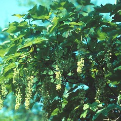 Flowers: Acer pseudoplatanus. ~ By Glenn Dreyer. ~ Copyright © 2020 Glenn Dreyer. ~ None needed