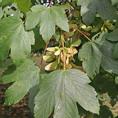 Fruits: Acer pseudoplatanus. ~ By Charles Brun. ~ Copyright © 2020. ~ brunc[at]wsu.edu ~ Pacific Northwest Plants - www.pnwplants.wsu.edu/