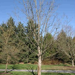 Plant form: Acer pseudoplatanus. ~ By Charles Brun. ~ Copyright © 2019. ~ brunc[at]wsu.edu ~ Pacific Northwest Plants - www.pnwplants.wsu.edu/