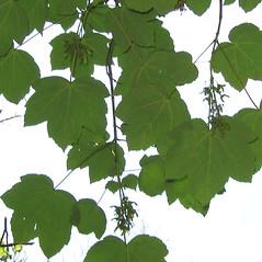 Leaves: Acer pseudoplatanus. ~ By Alexey Zinovjev. ~ Copyright © 2020. ~ webmaster[at]salicicola.com ~ Salicicola - www.salicicola.com/
