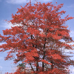 Plant form: Acer rubrum. ~ By Frank Bramley. ~ Copyright © 2017 New England Wild Flower Society. ~ Image Request, images[at]newenglandwild.org