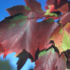 Leaves: Acer rubrum. ~ By Adelaide Pratt. ~ Copyright © 2017 New England Wild Flower Society. ~ Image Request, images[at]newenglandwild.org