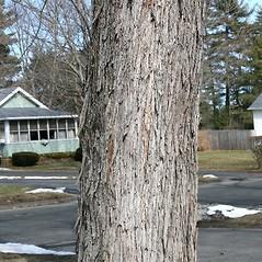 Bark: Acer saccharinum. ~ By Arieh Tal. ~ Copyright © 2019 Arieh Tal. ~ http://botphoto.com/ ~ Arieh Tal - botphoto.com