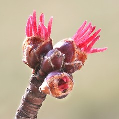 Flowers: Acer saccharinum. ~ By Arieh Tal. ~ Copyright © 2020 Arieh Tal. ~ http://botphoto.com/ ~ Arieh Tal - botphoto.com