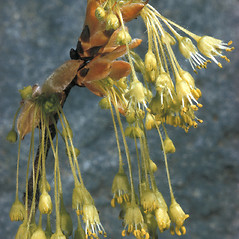 Flowers: Acer saccharum. ~ By Adelaide Pratt. ~ Copyright © 2019 New England Wild Flower Society. ~ Image Request, images[at]newenglandwild.org
