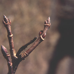 Winter buds: Acer saccharum. ~ By Carol Levine. ~ Copyright © 2019 Carol Levine. ~ carolflora[at]optonline.net