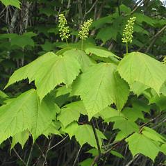 Flowers: Acer spicatum. ~ By Donna Kausen. ~ Copyright © 2018 Donna Kausen. ~ 33 Bears Den, Addison, ME 04606