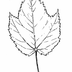 Leaves: Acer spicatum. ~ By Gordon Morrison. ~ Copyright © 2018 New England Wild Flower Society. ~ Image Request, images[at]newenglandwild.org