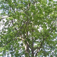 Plant form: Aesculus glabra. ~ By Steven Baskauf. ~ Copyright © 2018 CC-BY-NC-SA. ~  ~ Bioimages - www.cas.vanderbilt.edu/bioimages/frame.htm