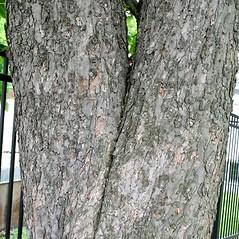 Bark: Aesculus hippocastanum. ~ By Arieh Tal. ~ Copyright © 2018 Arieh Tal. ~ http://botphoto.com/ ~ Arieh Tal - botphoto.com