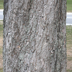 Bark: Aesculus hippocastanum. ~ By Glenn Dreyer. ~ Copyright © 2020 Glenn Dreyer. ~ None needed