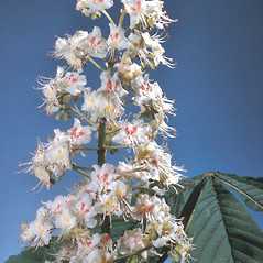 Flowers: Aesculus hippocastanum. ~ By Adelaide Pratt. ~ Copyright © 2020 New England Wild Flower Society. ~ Image Request, images[at]newenglandwild.org