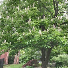 Plant form: Aesculus hippocastanum. ~ By Arieh Tal. ~ Copyright © 2017 Arieh Tal. ~ http://botphoto.com/ ~ Arieh Tal - botphoto.com