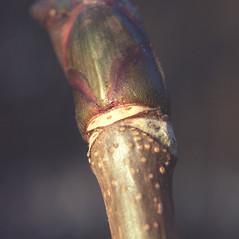 Winter buds: Aesculus hippocastanum. ~ By Carol Levine. ~ Copyright © 2018 Carol Levine. ~ carolflora[at]optonline.net