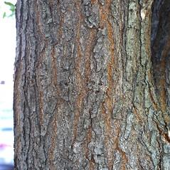 Bark: Koelreuteria paniculata. ~ By Steven Baskauf. ~ Copyright © 2019 CC-BY-NC-SA. ~  ~ Bioimages - www.cas.vanderbilt.edu/bioimages/frame.htm