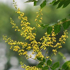 Flowers: Koelreuteria paniculata. ~ By David G. Smith. ~ Copyright © 2019. ~ dgsmith3[at]gmail.com ~ Delaware Wildflowers - delawarewildflowers.org/