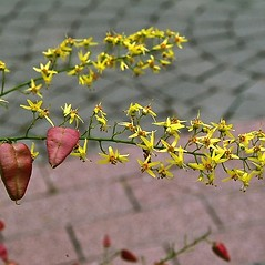 Flowers: Koelreuteria paniculata. ~ By Paul S. Drobot. ~ Copyright © 2019 Paul S. Drobot. ~ www.plantstogrow.com, www.plantstockphotos.com ~ Robert W. Freckmann Herbarium, U. of Wisconsin-Stevens Point