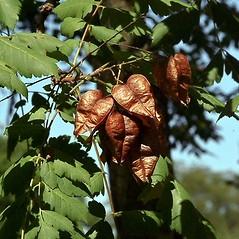 Fruits: Koelreuteria paniculata. ~ By Paul S. Drobot. ~ Copyright © 2018 Paul S. Drobot. ~ www.plantstogrow.com, www.plantstockphotos.com ~ Robert W. Freckmann Herbarium, U. of Wisconsin-Stevens Point