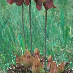 Plant form: Sarracenia purpurea. ~ By Dorothy Long. ~ Copyright © 2019 New England Wild Flower Society. ~ Image Request, images[at]newenglandwild.org