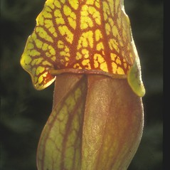 Leaves: Sarracenia purpurea. ~ By Albert Bussewitz. ~ Copyright © 2017 New England Wild Flower Society. ~ Image Request, images[at]newenglandwild.org