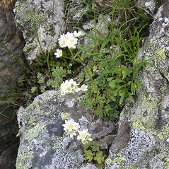 Plant form: Saxifraga paniculata. ~ By Bruce Patterson. ~ Copyright © 2020 Bruce Patterson. ~ foxpatterson[at]comcast.net