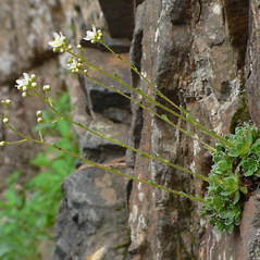 Plant form: Saxifraga paniculata. ~ By Jason Sachs. ~ Copyright © 2020 Jason Sachs. ~ No permission needed for non-commercial uses, with proper credit