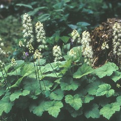 Plant form: Tiarella cordifolia. ~ By Frank Bramley. ~ Copyright © 2020 New England Wild Flower Society. ~ Image Request, images[at]newenglandwild.org