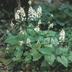 Plant form: Tiarella cordifolia. ~ By Lawrence Newcomb. ~ Copyright © 2019 New England Wild Flower Society. ~ Image Request, images[at]newenglandwild.org