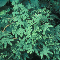 Plant form: Lygodium palmatum. ~ By Lucien Taylor. ~ Copyright © 2019 New England Wild Flower Society. ~ Image Request, images[at]newenglandwild.org