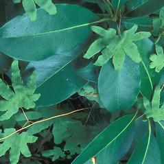 Leaf: Lygodium palmatum. ~ By William Cullina. ~ Copyright © 2018 William Cullina. ~ bill[at]williamcullina.com
