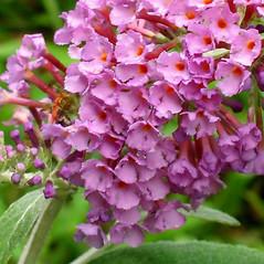 Flowers: Buddleja davidii. ~ By Alexey Zinovjev. ~ Copyright © 2017. ~ webmaster[at]salicicola.com ~ Salicicola - www.salicicola.com/