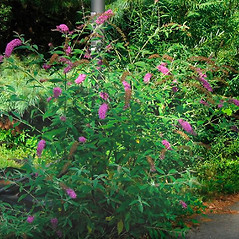 Plant form: Buddleja davidii. ~ By Alexey Zinovjev. ~ Copyright © 2017. ~ webmaster[at]salicicola.com ~ Salicicola - www.salicicola.com/