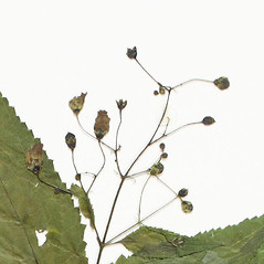Fruits: Scrophularia marilandica. ~ By Derick B. Poindexter. ~ Copyright © 2019 Derick B. Poindexter. ~ dpoindex[at]live.unc.edu ~ Vascular Flora of Alleghany County, NC - vascularflora.appstate.edu/