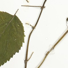 Stems: Scrophularia marilandica. ~ By Derick B. Poindexter. ~ Copyright © 2019 Derick B. Poindexter. ~ dpoindex[at]live.unc.edu ~ Vascular Flora of Alleghany County, NC - vascularflora.appstate.edu/