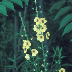 Flowers: Verbascum blattaria. ~ By Catherine Heffron. ~ Copyright © 2017 New England Wild Flower Society. ~ Image Request, images[at]newenglandwild.org