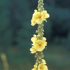 Flowers: Verbascum thapsus. ~ By Frank Bramley. ~ Copyright © 2020 New England Wild Flower Society. ~ Image Request, images[at]newenglandwild.org
