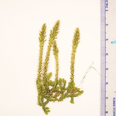 Shoots: Selaginella selaginoides. ~ By Donald Cameron. ~ Copyright © 2018 Donald Cameron. ~ No permission needed for non-commercial uses, with proper credit