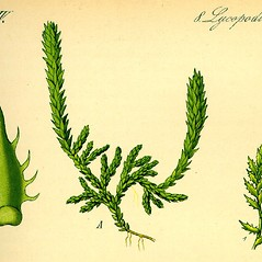Vegetative leaves: Selaginella selaginoides. ~ By Otto Wilhelm Thome. ~  Public Domain. ~  ~ Robert W. Freckmann Herbarium, U. of Wisconsin-Stevens Point