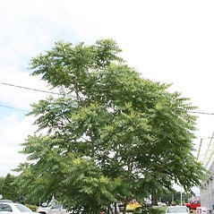 Plant form: Ailanthus altissima. ~ By Arieh Tal. ~ Copyright © 2019 Arieh Tal. ~ http://botphoto.com/ ~ Arieh Tal - botphoto.com