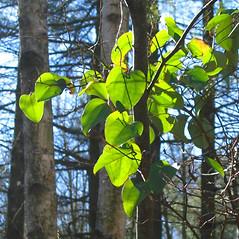 Plant form: Smilax glauca. ~ By Alexey Zinovjev. ~ Copyright © 2019. ~ webmaster[at]salicicola.com ~ Salicicola - www.salicicola.com/