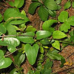 Leaves: Smilax glauca. ~ By Alexey Zinovjev. ~ Copyright © 2019. ~ webmaster[at]salicicola.com ~ Salicicola - www.salicicola.com/