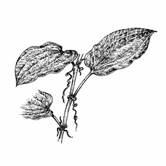 Leaves: Smilax herbacea. ~ By Elizabeth Farnsworth. ~ Copyright © 2018 New England Wild Flower Society. ~ Image Request, images[at]newenglandwild.org