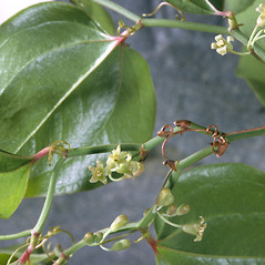 Flowers: Smilax rotundifolia. ~ By Adelaide Pratt. ~ Copyright © 2018 New England Wild Flower Society. ~ Image Request, images[at]newenglandwild.org