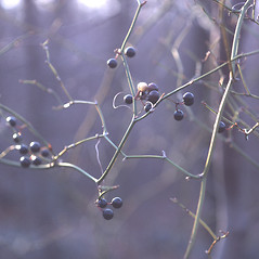 Fruits: Smilax rotundifolia. ~ By Carol Levine. ~ Copyright © 2018 Carol Levine. ~ carolflora[at]optonline.net