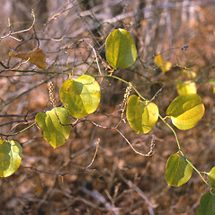 Plant form: Smilax rotundifolia. ~ By Frank Bramley. ~ Copyright © 2018 New England Wild Flower Society. ~ Image Request, images[at]newenglandwild.org