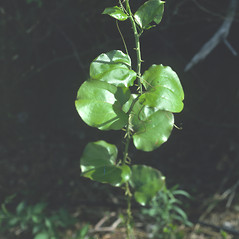 Leaves: Smilax rotundifolia. ~ By John Lynch. ~ Copyright © 2018 New England Wild Flower Society. ~ Image Request, images[at]newenglandwild.org