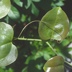 Leaves: Smilax rotundifolia. ~ By Roland Boutwell. ~ Copyright © 2018 Roland Boutwell. ~ Requests for image use not currently accepted by copyright holder